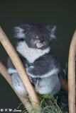 Koala DSC_2149