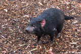 Tasmania devil DSC_2125