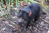 Tasmania devil DSC_2141