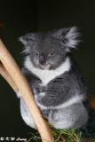 Koala DSC_2154