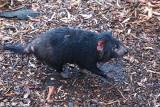 Tasmania devil DSC_2132
