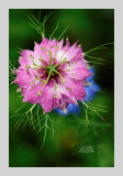 Love in a Mist 2