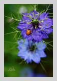 Love in a Mist 4