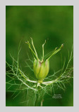 Love in a Mist 9