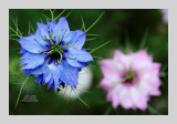 Love in a Mist 11
