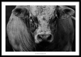 Bull, Cantal France 2005