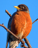 American Robin 20130506