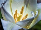 Tulip Closeup DSCF01982