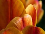 Tulip Tops DSCF02120