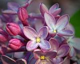 Lilac Closeup 20130517