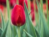 Red Tulip DSCF02347