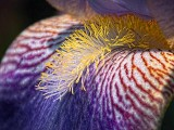 Iris Closeup DSCF03274-7