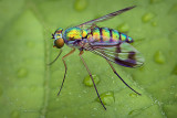Long-legged Fly 20130705