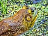Bullfrog Closeup DSCF05748