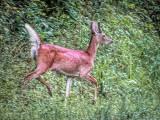 Deer On The Run DSCF06280