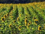 Sunflower Field DSCF07262-4