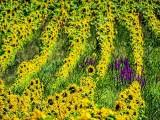 Sunflower Field DSCF08365