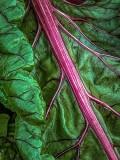 Green Leaf Red Veins DSCF08921