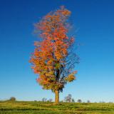 Lone Autumn Tree 20131008