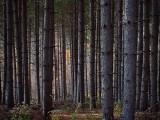 Pine Forest DSCF10532