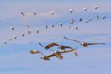 Cranes & Geese In Flight 73197