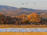 Field of Snow Geese 72792
