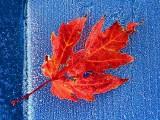 Ragged Red Leaf 20131029