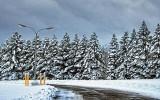 Snowy Pines DSCF11911
