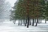Pines In Fog 20140114