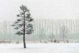 Lone Pine In Snowstorm DSCF12741