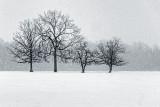 Four Trees In Snowfall DSCF13042