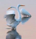Egrets At Dawn 4515