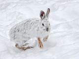 Snowshoe Hare DSCF13552
