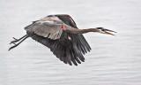 Heron In Flight 46253