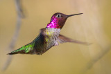 Hummingbird In Flight 80497