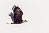 Bald Eagle In Flight (crop) 20140311