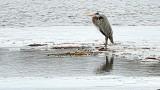 Heron On Ice-720mm (P1000883)