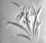 Glass Iris Blooming P1010121
