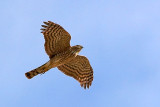 Hawk In Flight 86829