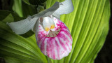 Showy Lady's Slipper Orchid 20140620
