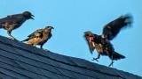 Cross Crow 20140622