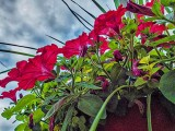 Petunias From Down Low DSCF16555