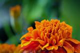 Marigold Closeup 28963