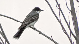 Perched Kingbird 20140723