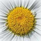 Daisy Closeup DSCF16791