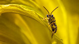 Cute Little Bug On A Yellow Lily 20140801