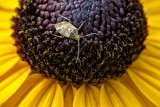 Bug On A Black-eyed Susan DSCF17339