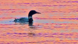 Loon With A Bite Of Breakfast 20140807
