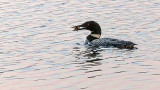 Loon With Breakfast 44560