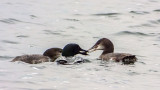 Loon Breakfast 20140817
